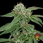 Crockett's Confidential Regular Cannabis Seeds by Crockett Family Farms