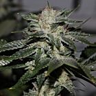 Original Bruce Banner Regular Cannabis Seeds by Dark Horse Genetics