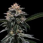 Banana Sorbet (Sorbet Collection) Female Cannabis Seeds by DNA Genetics