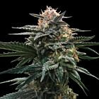 Blood Orange Sorbet (Sorbet Collection) Female Cannabis Seeds by DNA Genetics