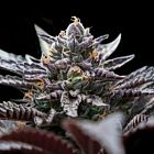 Double Stuffed Sorbet (Sorbet Collection) Female Cannabis Seeds by DNA Genetics