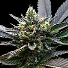 L.A. Sorbet (Sorbet Collection) Female Cannabis Seeds by DNA Genetics