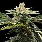 Miss U.S.A Female Cannabis Seeds by DNA Genetics