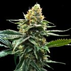 Sour Sorbet (Sorbet Collection) Female Cannabis Seeds by DNA Genetics