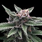 Triple Scoop (Sorbet Collection) Female Cannabis Seeds by DNA Genetics