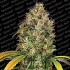 Dutch Kush Female Cannabis Seeds by Paradise Seeds