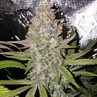 Exodus Valley Regular Cannabis Seeds by True Canna Genetics