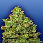 Edelweiss Female Marijuana Seeds