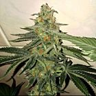 Forbidden Fruit Cake Female Cannabis Seeds by The Plug Seedbank