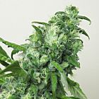 Digweed Female Cannabis Seeds by House Of The Great Gardener