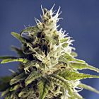 GG#1 Female Cannabis Seeds by House Of The Great Gardener