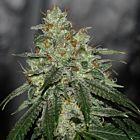 Di Fruity LTD Regular Cannabis Seeds by Karma Genetics