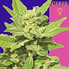 Lemonesia Female Cannabis Seeds by Ceres Seeds