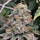 Strawpicanna Regular Cannabis Seeds by Oni Seed Co