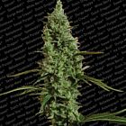 Atomical Haze Feminized Marijuana Seeds