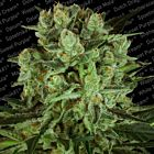 Durga Mata II CBD Female Cannabis Seeds by Paradise Seedbank