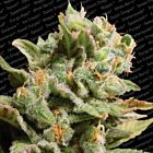 Dutch Dragon Female Pot Seeds