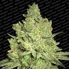 Jacky White Female Weed Seeds