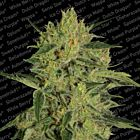Nebula II CBD Female Cannabis Seeds by Paradise Seedbank