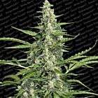 Pandora Auto Flowering Female Marijuana Seeds