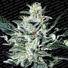 Sensi Star Female Cannabis Seeds