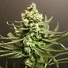 Grand Exodus Female Cannabis Seeds by Pot Valley Seeds