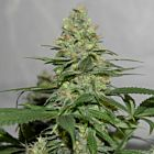 Masters 'N Crime Regular Cannabis Seeds by Pot Valley Seeds