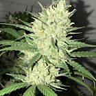 Orange Snap Regular Cannabis Seeds by Pot Valley Seeds