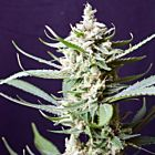 Sunset Flame Regular Cannabis Seeds by Pot Valley Seeds