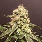 Frosty Purps Female Cannabis Seeds by Pot Valley Seeds