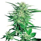 Big Bud Regular Cannabis Seeds