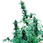 Early Skunk Regular Cannabis Seeds