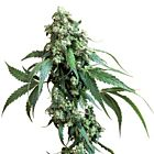 Jack Flash Regular Cannabis Seeds