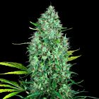 Serious 6 Regular Cannabis Seeds by Serious Seeds