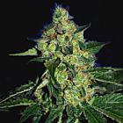 SugarMill - The Gold Line - Female Cannabis Seeds by The Cali Connection