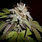Sunset aka Sunset Sherbet Female Cannabis Seeds by PhenoFinder Seeds