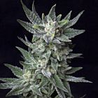 Automatic Bubble Gum Female Cannabis Seeds by TH Seeds