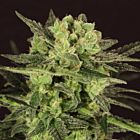 MK-Ultra Kush Auto Feminized Cannabis Seeds by T.H.Seeds