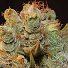 MK-Ultra Kush x BubbleGum Feminized Cannabis Seeds by T.H.Seeds