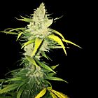 La S.A.G.E. Female Cannabis Seeds by T.H.Seeds