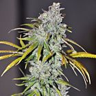 Blue Dream Haze Female Cannabis Seeds