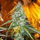 Original Sour Diesel Female Marijuana Seeds