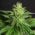 CBD Jean Female Cannabis Seeds by The House of the Great Gardener