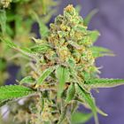 Orange Barb Female Cannabis Seeds by The House of the Great Gardener