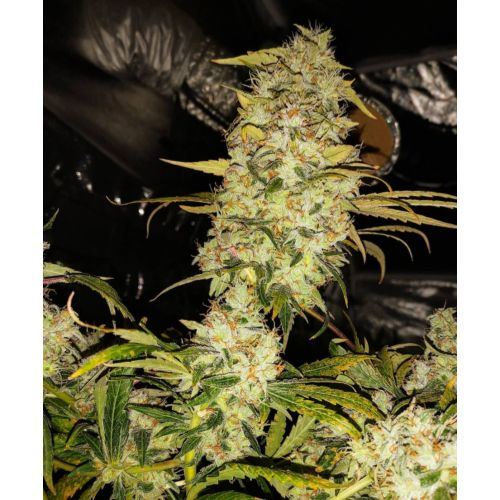 Strawberry Cane Female Cannabis Seeds by Holy Smoke Seeds