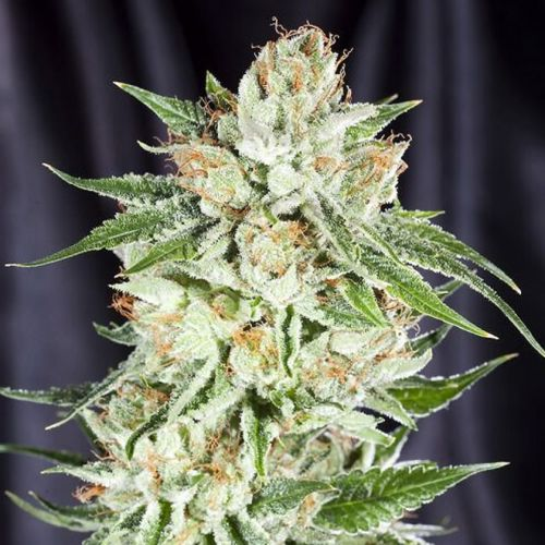 5th Element Female Cannabis Seeds by Elemental Seeds