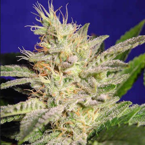 Allkush (Sheherazade) Female Cannabis Seeds by Paradise Seeds