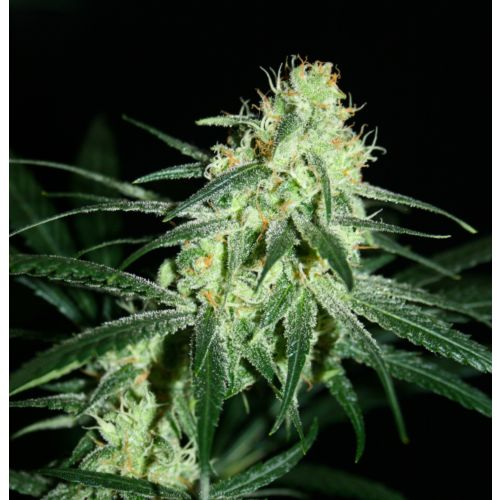 Amnesia A5 Female Cannabis Seeds by Karma Genetics Southern Haze Collective