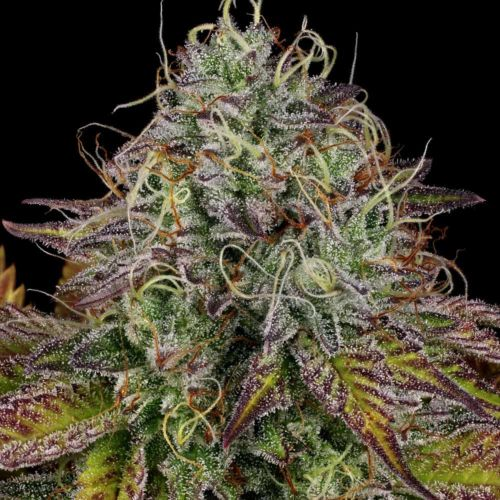 Apricot Candy Feminized Weed Seeds by Paradise Seeds