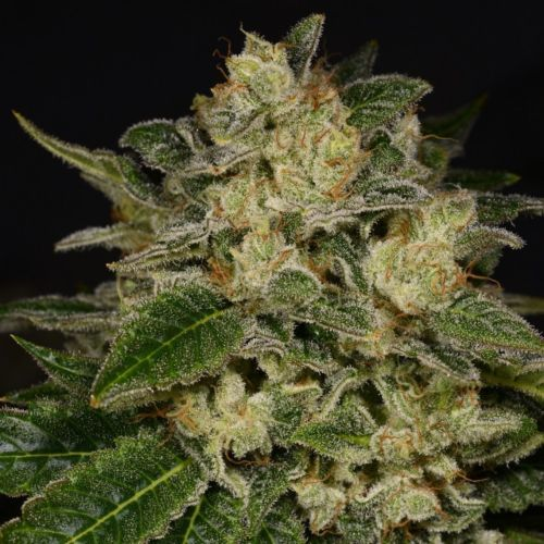 Light Speed Female Cannabis Seeds by Archive Seedbank
